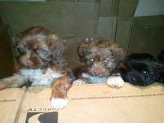 ebay classifieds yorkie puppies on shih tzu yorkie and ebay