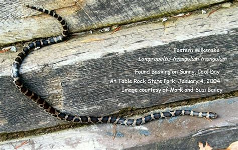 table rock nc cing scarlet king snake page