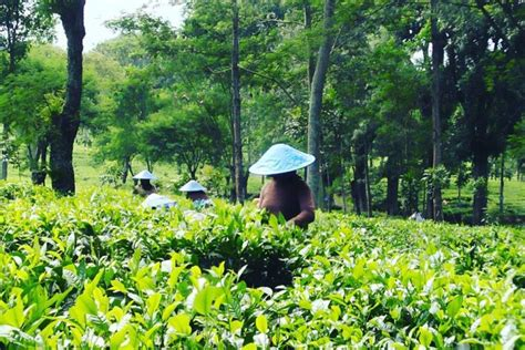 Teh Rolas Wonosari malang merdeka menikmati kesejukan wisata kebun
