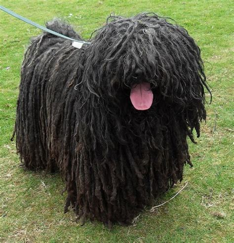 dogs with dreads with dreadlocks breeds breeds picture
