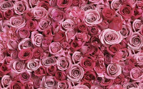 wallpaper for walls with roses a lot of pink roses wallpaper flower wallpapers 53638