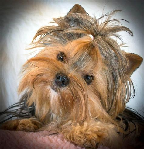doll yorkies for sale 17 best images about yorkie on terrier yorkie and