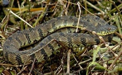 Garden Snake Oklahoma Snakes In The Garden The The Bad And The