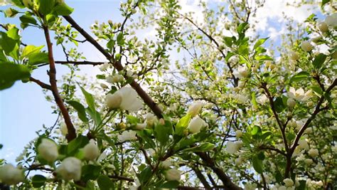Blossom Shieneng sun shining through blossom apple tree branches slider dolly stock footage 6385148