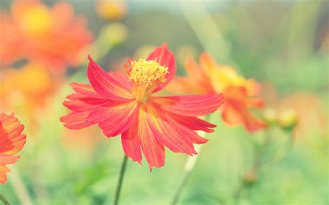 autumn flower cosmos autumn flower wallpapers hd wallpapers id 14702