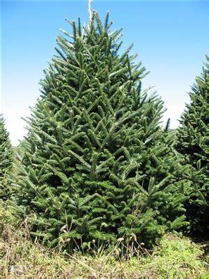 7 8 ft fresh nobel fir buy a real large tree live premium grade fraser fir for sale