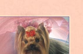 hihopes yorkies hihopes terriers