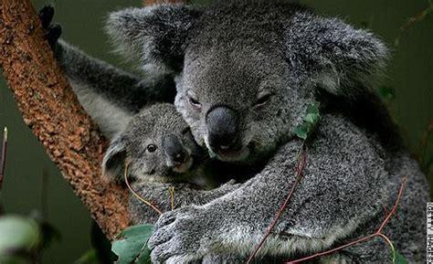 koala hängematte معلومات عن حيوان الكوالا