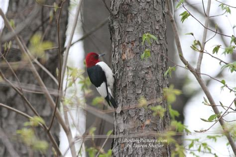 red headed woodpecker red headed woodpecker pictures red headed woodpeckers visit the back yard