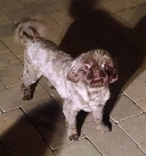 pats precious puppies puppies for sale shih tzu shih tzus f category in plainfield illinois