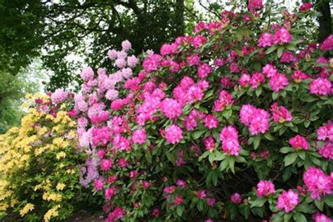 how to transplant rhododendrons ehow uk