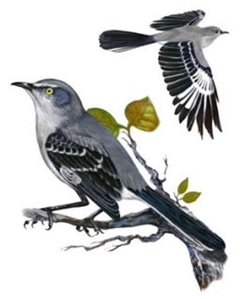 17 best images about mockingbird on pinterest feathers