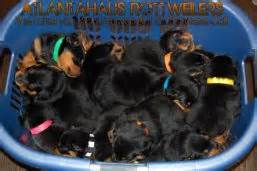 rottweiler puppies for sale in atlanta atlantahaus rottweiler puppies for sale pictures