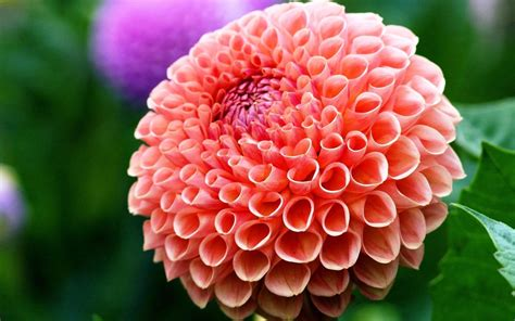 mexican national mexican national flower dahlia pictures to pin on pinsdaddy