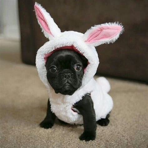 pug bunny easter costume black puglet pug puppy bunny costume animals easter