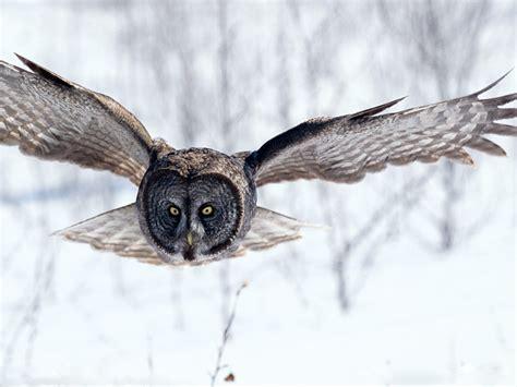 fonditos gran b 250 ho gris animales b 250 hos mascotas aves - Buho Gris