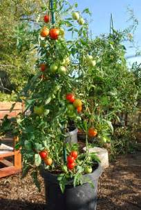 Planter Size For Tomatoes by Growing Tomatoes In Containers Growing Tomatoes In Pots
