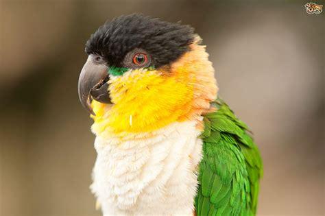 Parrot Species   The Caique   Pets4Homes