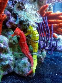 colorful seahorse phishy business seahorse tank seahorse