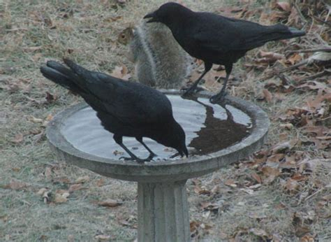 food and feeding habits of the american crow corvus