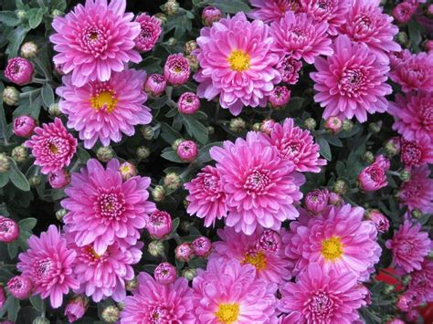 mums flower chrysanthemums when to plant mums the old farmer s almanac