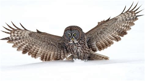 grey owl wallpaper great grey owl full hd wallpaper and background