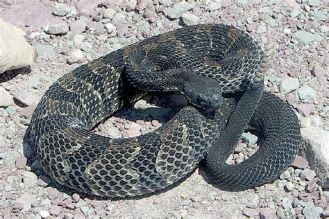 Search In Pennsylvania Pa Takes Timber Rattlesnake Species List Philly