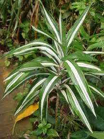plants amp flowers 187 cornstalk dracaena