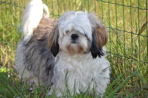 how big can a shih tzu grow shih tzu facts