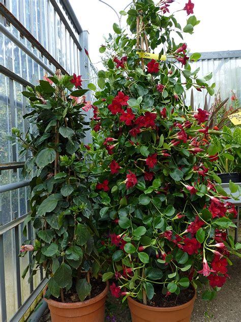 piante in vaso piante ricanti in vaso resistenti al freddo