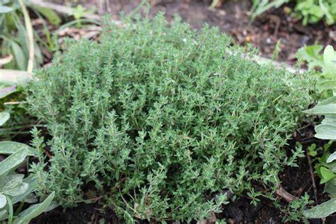 Garden Thyme by Thyme Pod Easy Edible Gardening