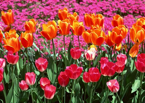 spring flower pictures spring flower wallpaper flower design