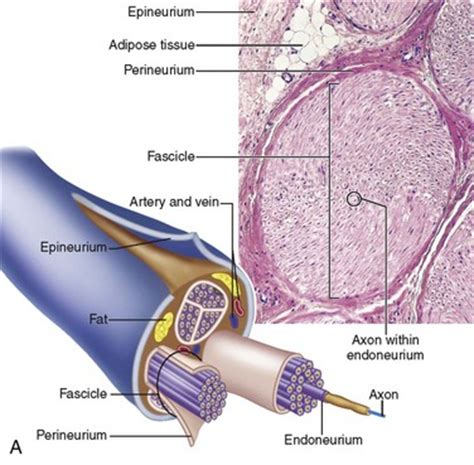 cross section of nerve 25 traumatic injuries of the trigeminal nerve pocket