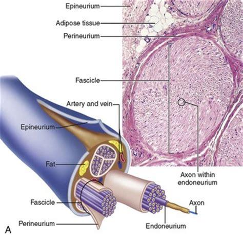 nerve cross section pics for gt nerve fiber longitudinal section with schwann cell