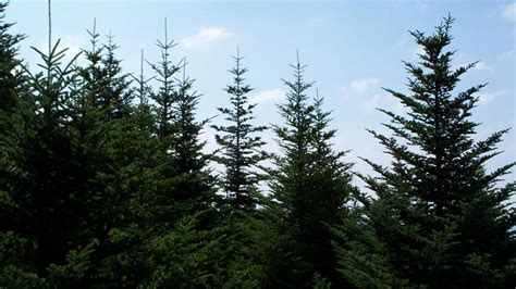 canadian spruce tree trees of canada explore awesome activities facts
