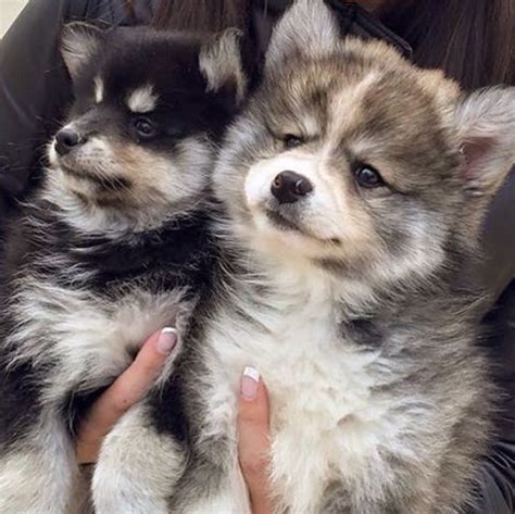 how do pomeranians live in human years norman the husky pomeranian mix is one adorable puppy