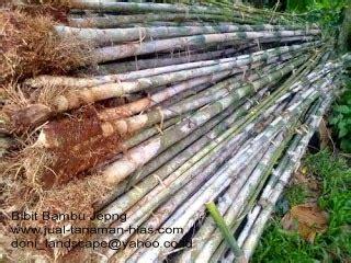 Jual Boneka Gajah Kuning jual bambu jepang bambu kuning bambu telisik rumput gajah mini pucuk merah tukang taman