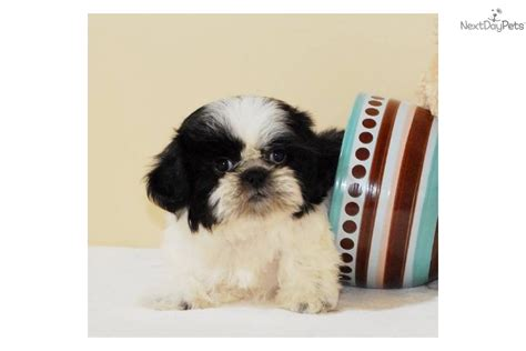 free shih tzu puppies in free shih tzu puppies 5 desktop background dogbreedswallpapers