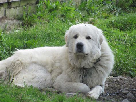 great pyrenees puppies for adoption a dopt a great pyrenees for free breeds picture