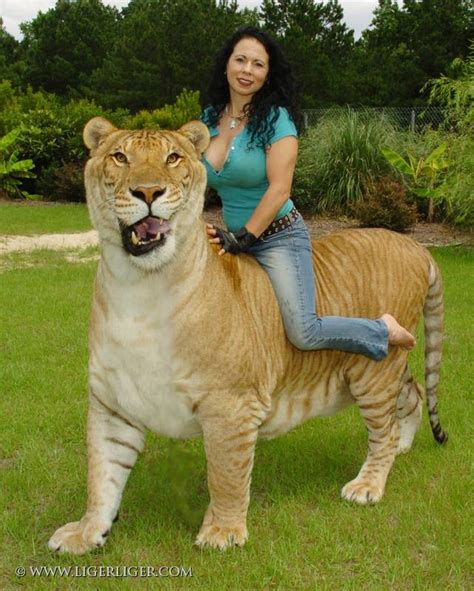 Liger   The World's Biggest Cats