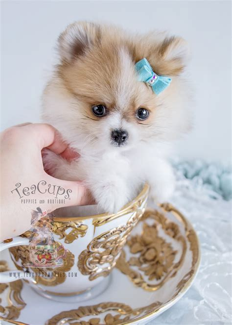 pomeranian teacup puppies tiny pom puppies 4k wallpapers