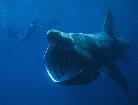 quallen le basking shark