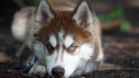 pictures of husky dogs angry siberian husky puppies