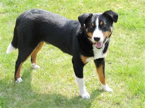 appenzeller mountain appenzeller mountain info temperament puppies pictures