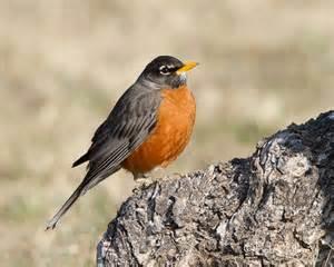 Robin Tx American Robin Tweeties By Bob Zeller
