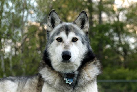 hybrid dogs attack of the hybrid wolf dogs wshu