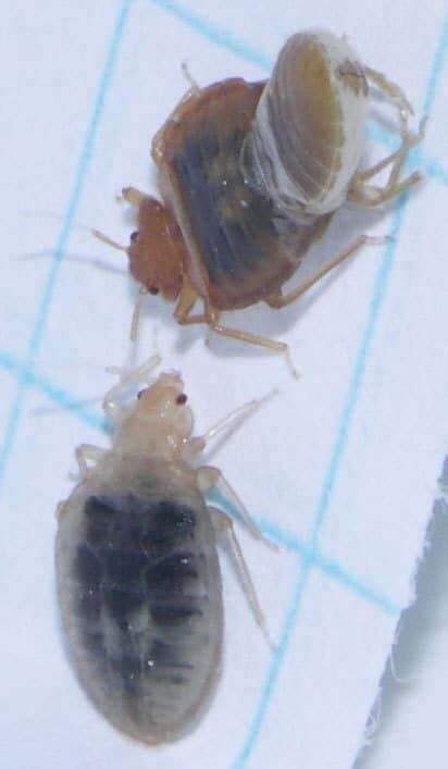 bed bugs     pictures debedbug