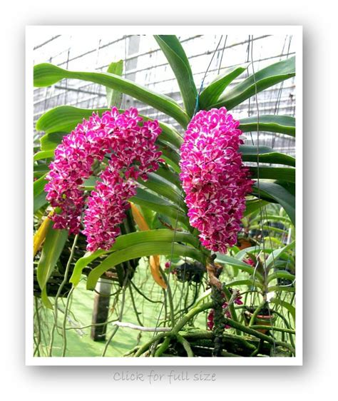 Orchid Plant by Rhynchostylis Gigantea Lindl Ridl Orchid Plant