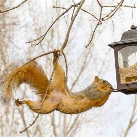 keep squirrels out of bird feeders with weight activated