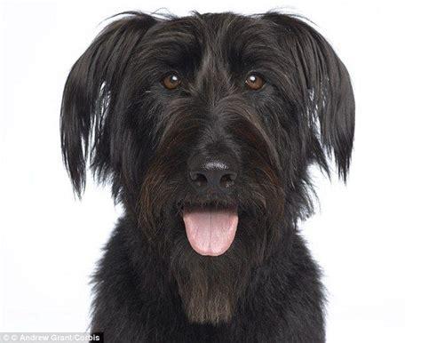 black spikey fur dog 35 best images about the color black on pinterest irish